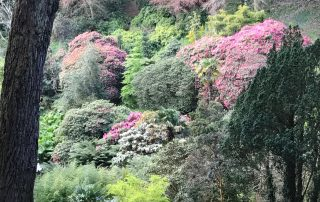 Plants rhododendrons Cornwall garden