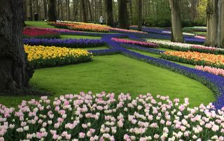 Tulips and grape hyacinths in the parkland scene at Keukenhof