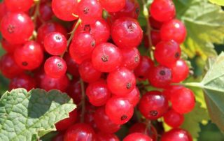 Redcurrant Babette®