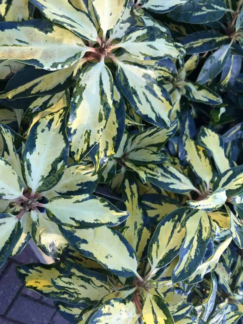 Variegated rhododendron leaves