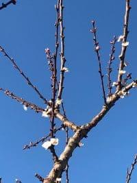 Prunus Aprium Hybrid