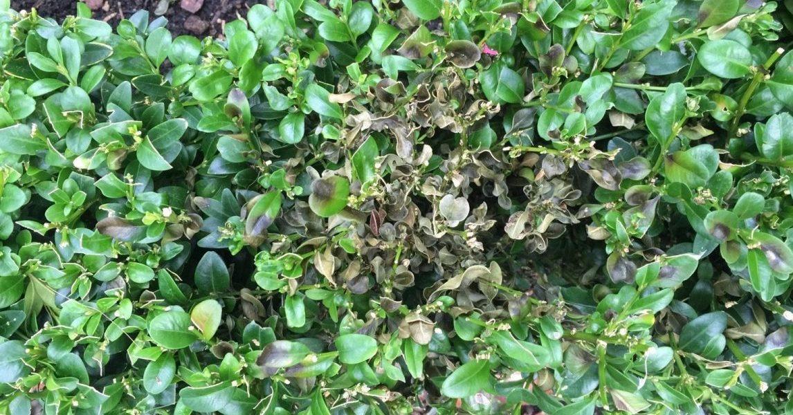 Blight on box bush